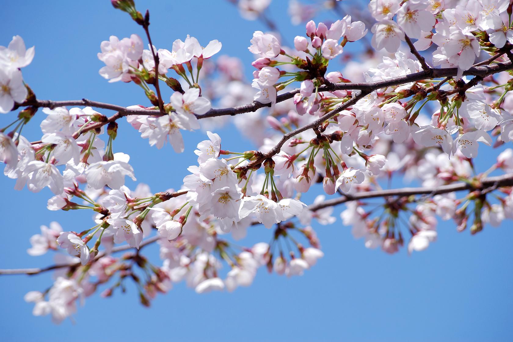 お花見,関西,時期,名所,子連れ