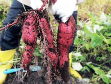 保育園 芋掘り,保育園 芋掘り 服装,保育園 芋掘り 持ち物,保育園 芋掘り 服装 持ち物