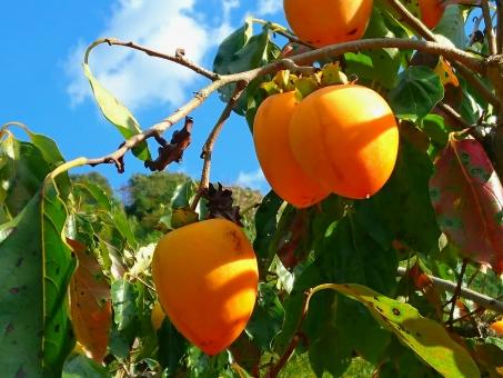 渋柿,渋柿 干し柿,渋柿 干し柿 時期,渋柿 干し柿 作り方,渋柿 干し柿 時期 作り方