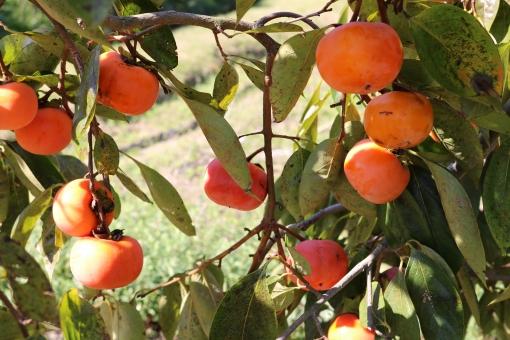 柿狩り,柿狩り 時期,柿狩り 服装,柿狩り 時期 関東,柿狩り 時期 服装,柿狩り 時期 持ち物,柿狩り 関東 農園